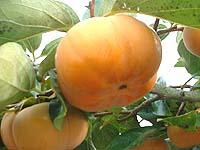 次郎柿 富有柿